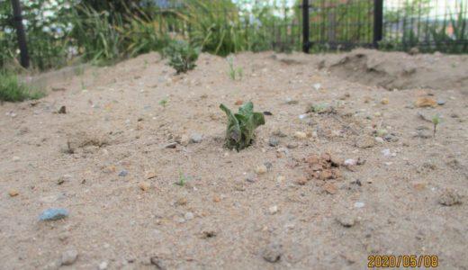 さくら組 じゃがいもの芽がでてきたよ~!