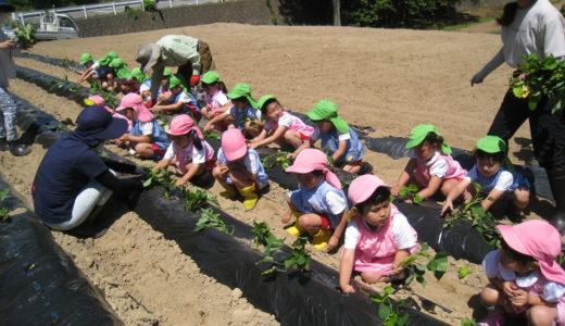 さつま芋苗植え 6月8日